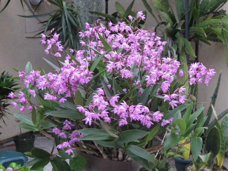 Orquidea Dendrobium Kingianum