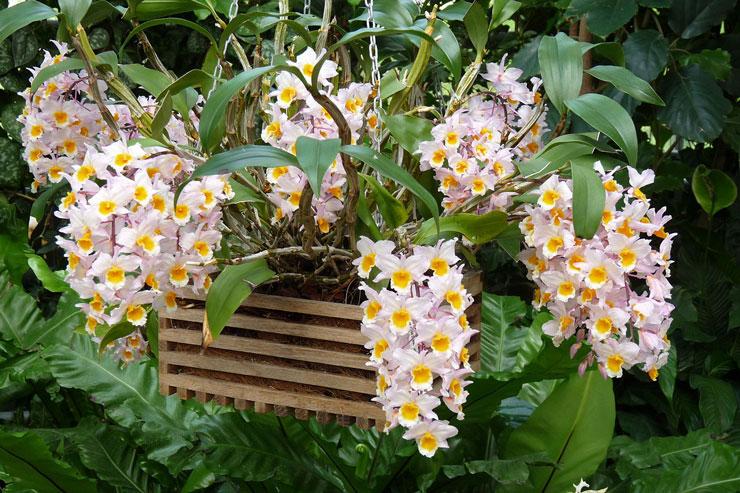 Orquídea tipo Dendrobium em rosa e amarelo