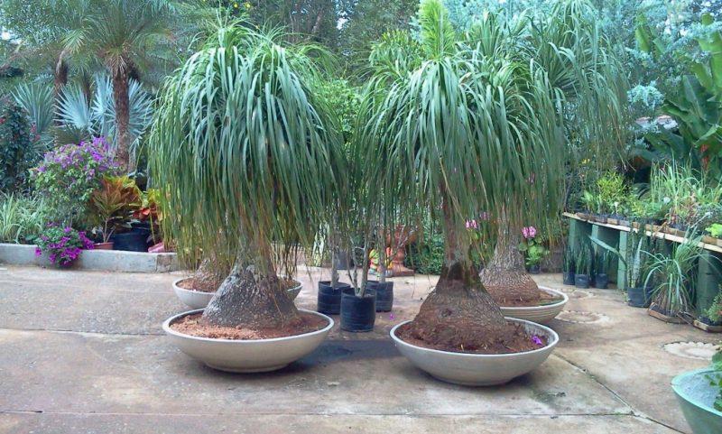 Plantas Arbustos (Pata de Elefante)