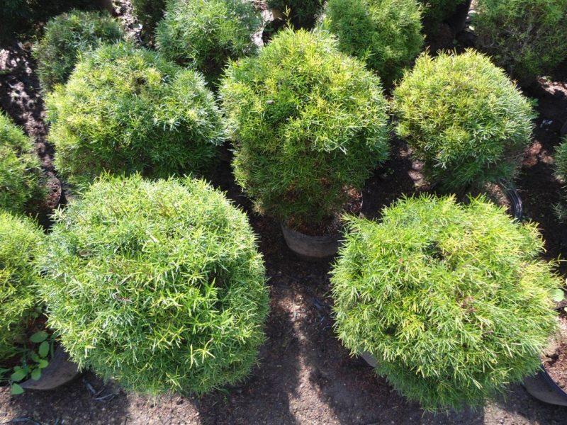 Plantas arbustos (Eugênia)