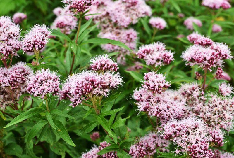 Plantas perenes (Valeriana)