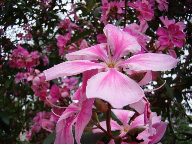 quaresmeira rosa
