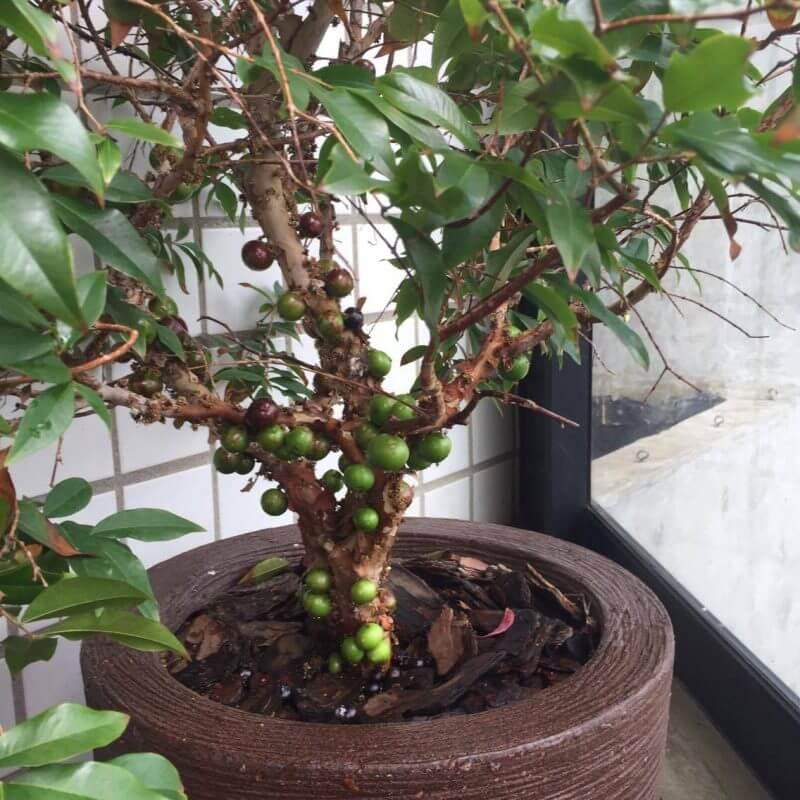 Árvores Frutíferas de Pequeno Porte