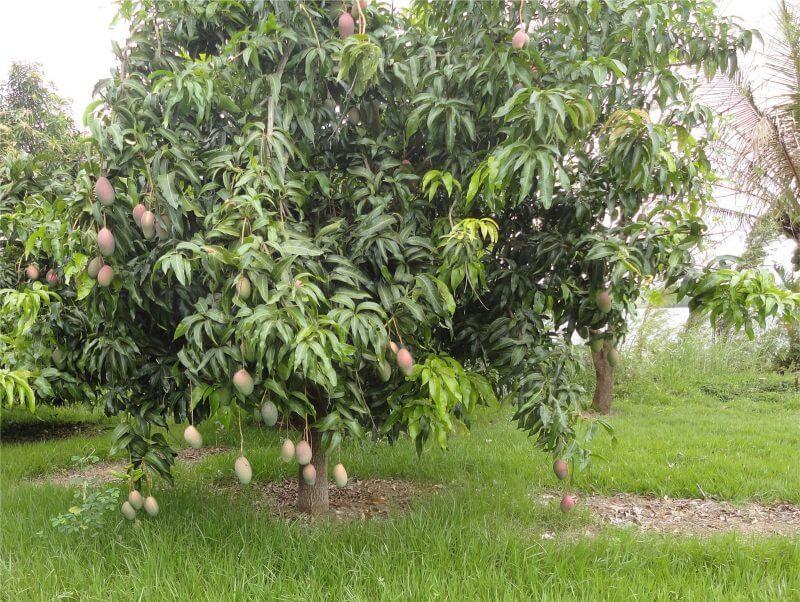 árvores frutíferas mangueira