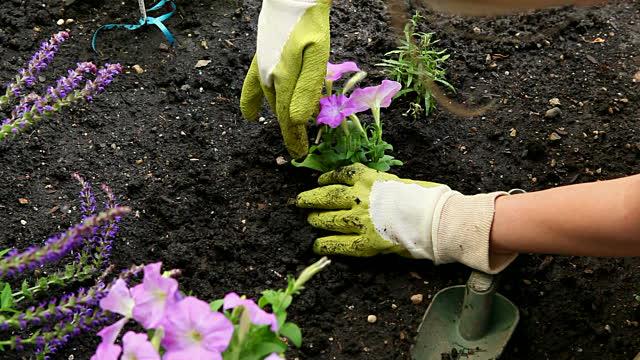 Como Cultivar Petúnias