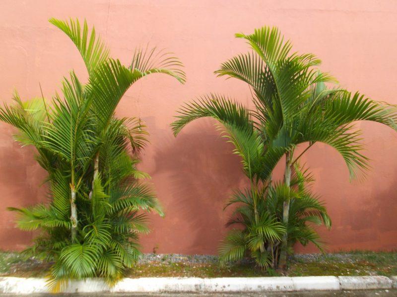 Palmeira Areca Volumosa