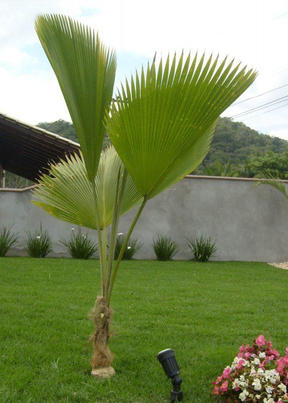 Palmeira Fiji
