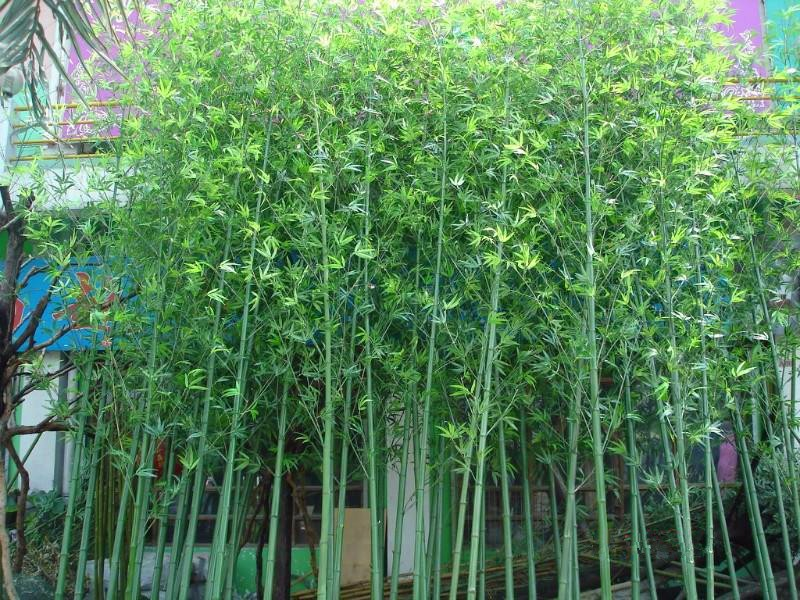 bambu de jardim - múltiplas folhas