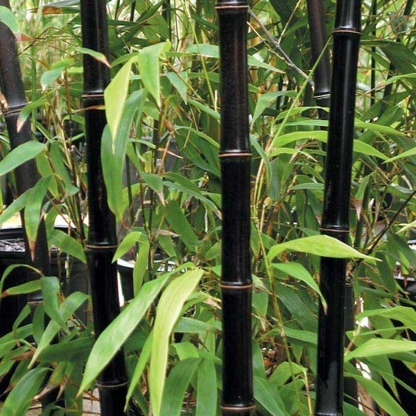 bambu de jardim - bambu preto
