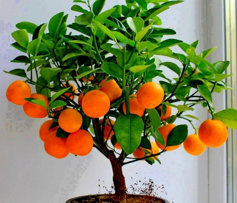 Tipos de Bonsai de Frutas