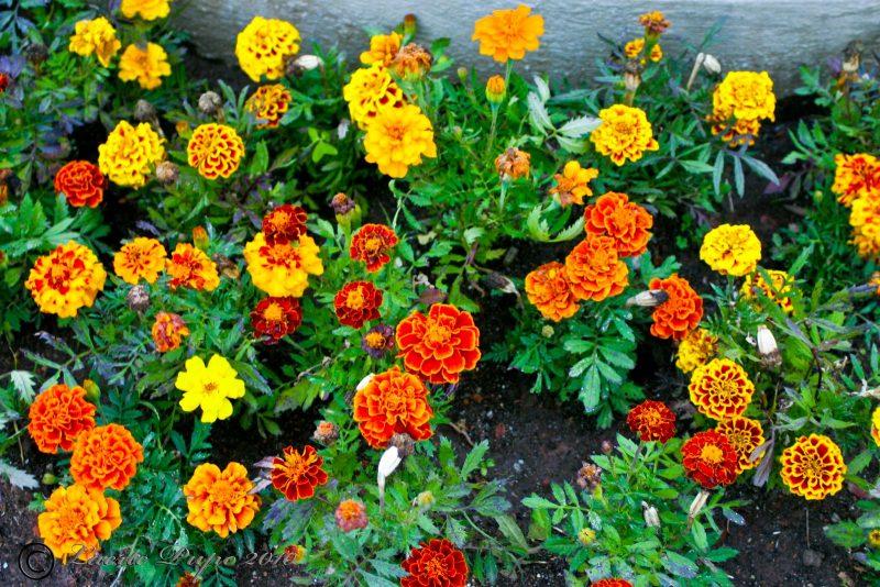 Flor Cravo