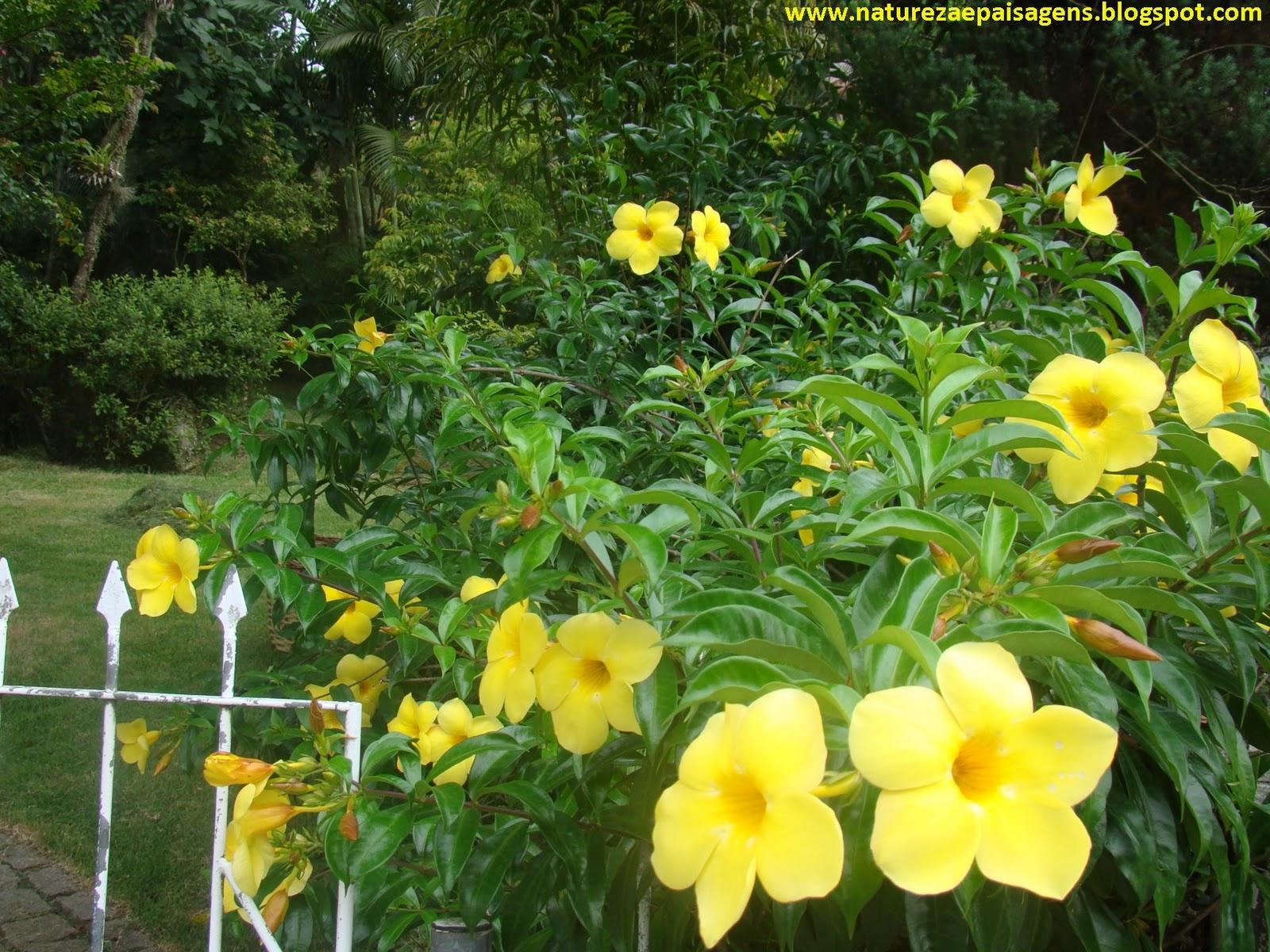 Tipos de Flores Para Jardim alamanda