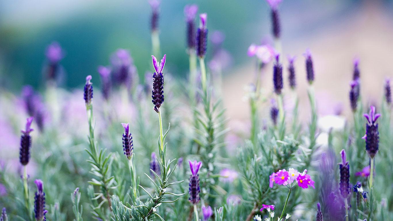 Tipos de Flores Para Jardim alfazema