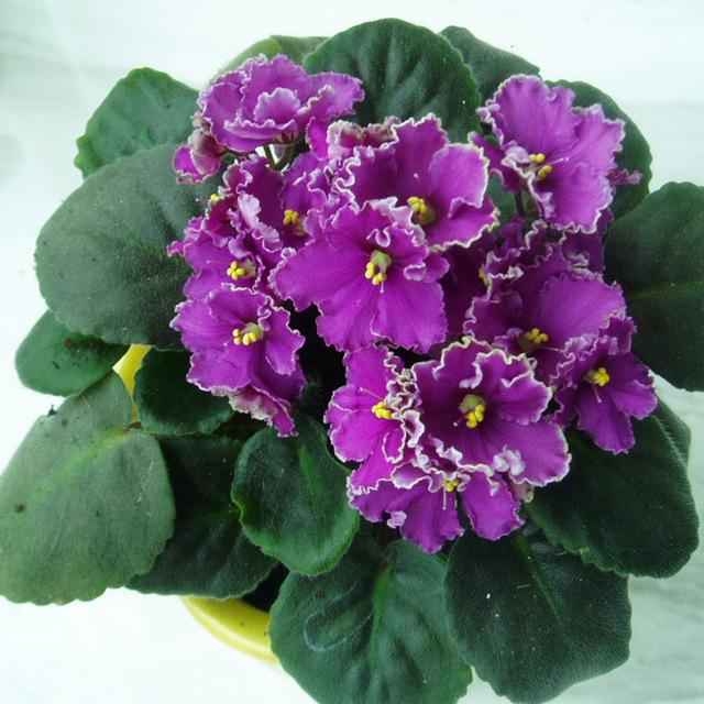 Tipos de flores violeta