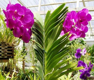 Orquídea Vanda Cores