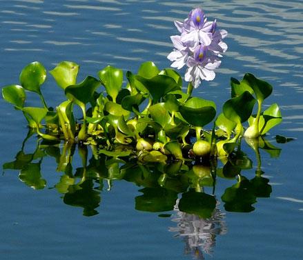 Plantas Aquáticas baronesa