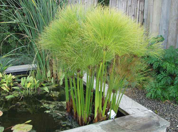 Mini–papiro (Cyperus prolifer)