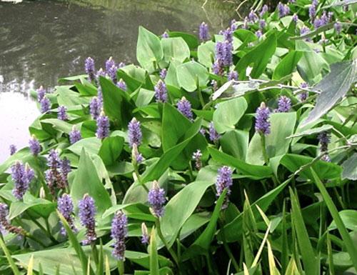 Mureré (Pontederia cordata)