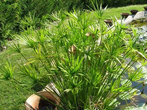 Umbrela (Cyperus alternifolius)