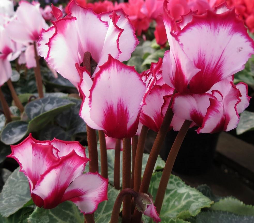 Flores de Inverno Para Jardim Externo ciclames