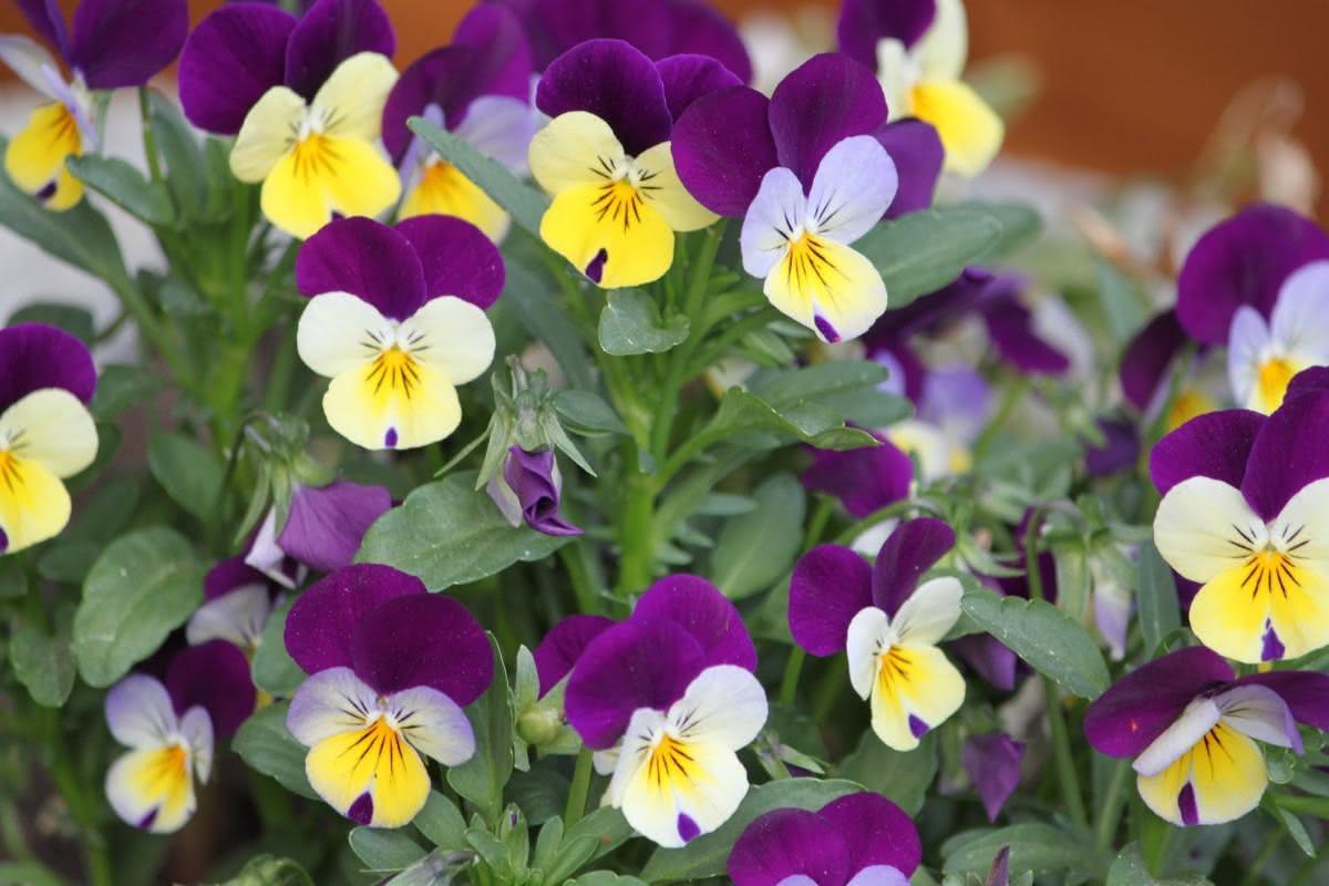 Flores de Inverno Para Jardim amor perfeito