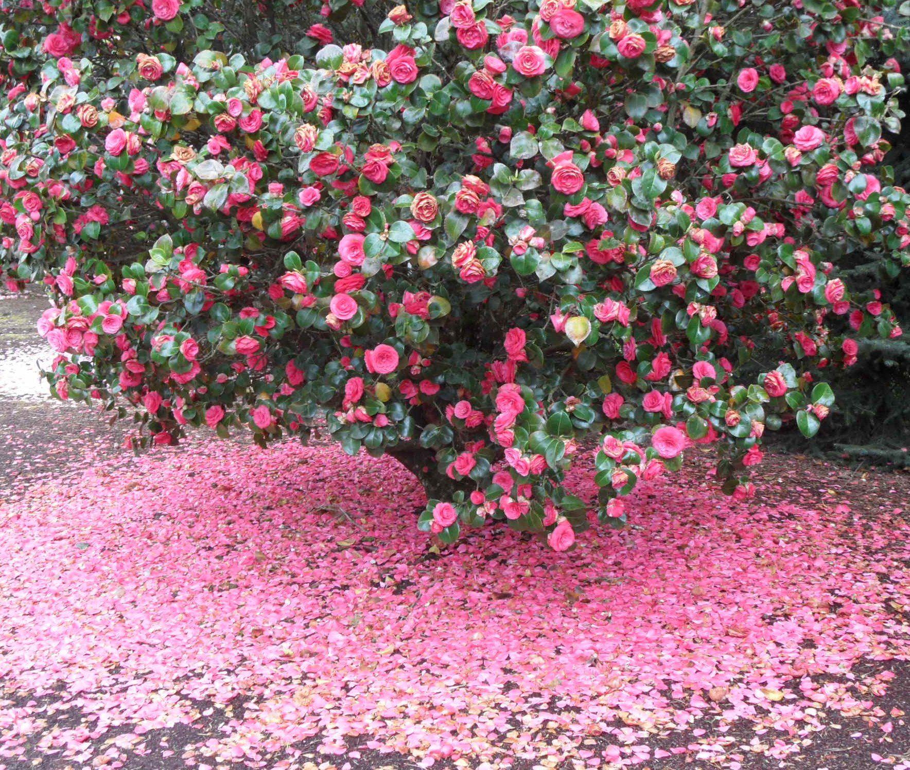 Camélia (Camellia)