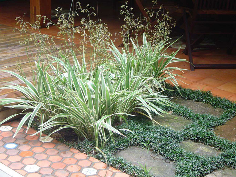 clorofito (chorophytum comosum)