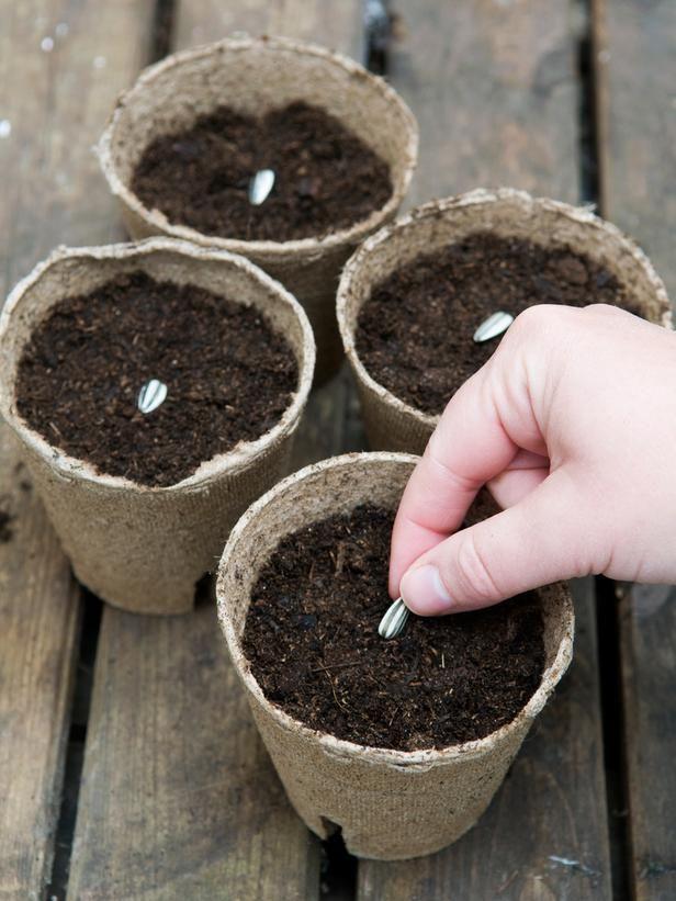 Como Plantar Girassol