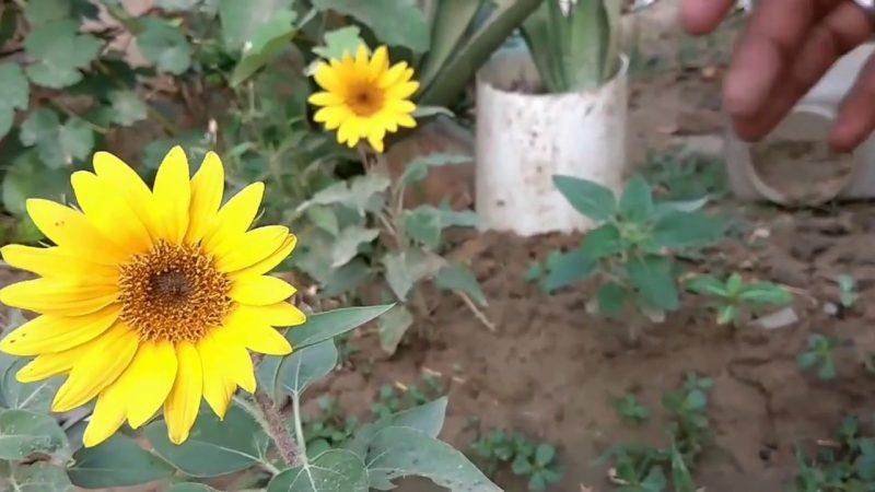 Como Cultivar Girassol