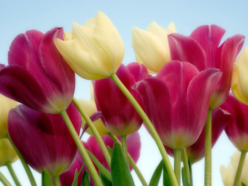 Significado da tulipa