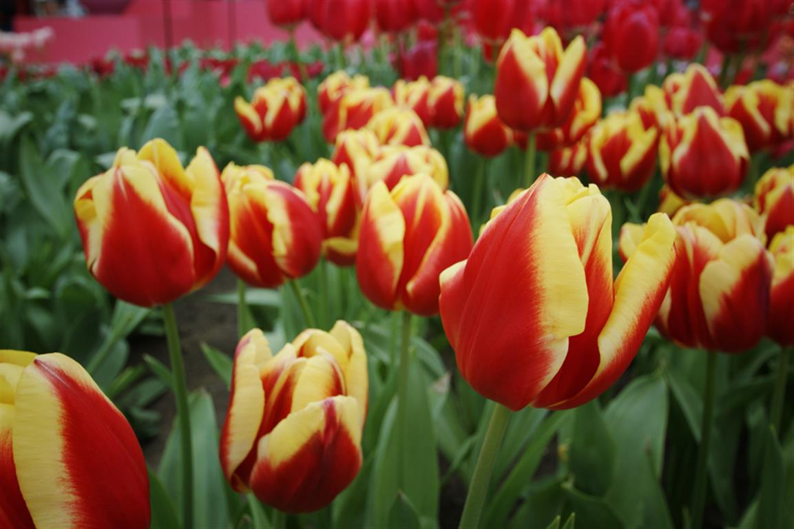 cuidar tulipas