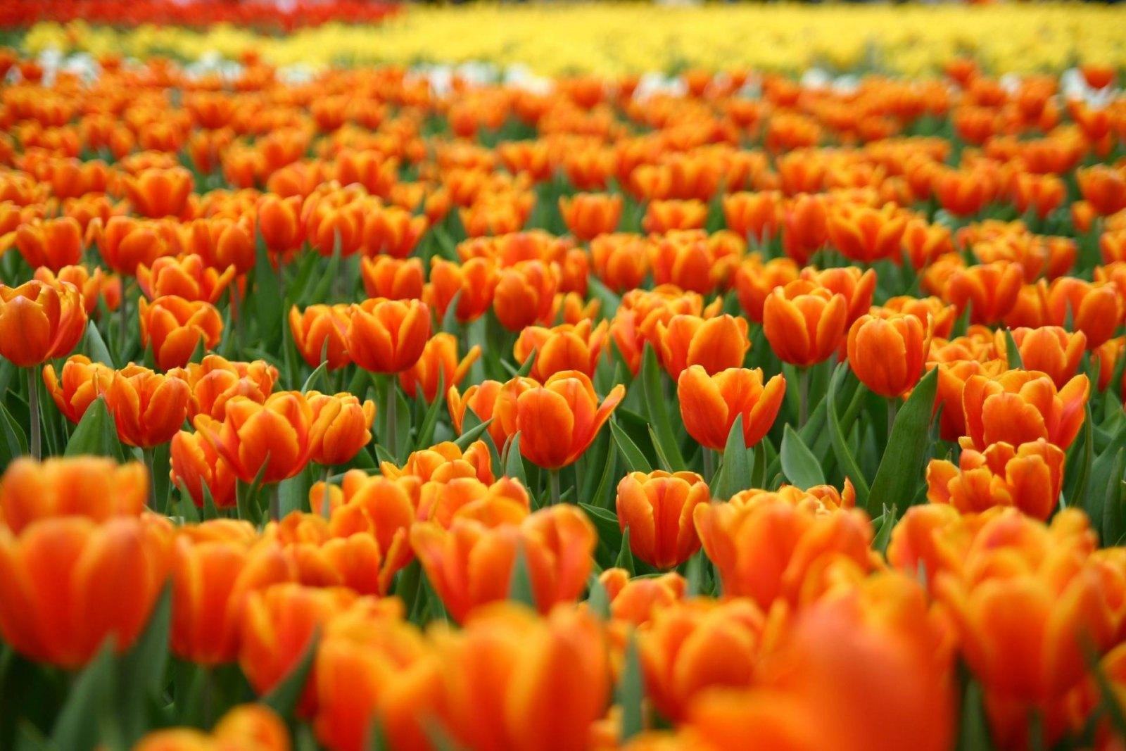 tulipas-laranja