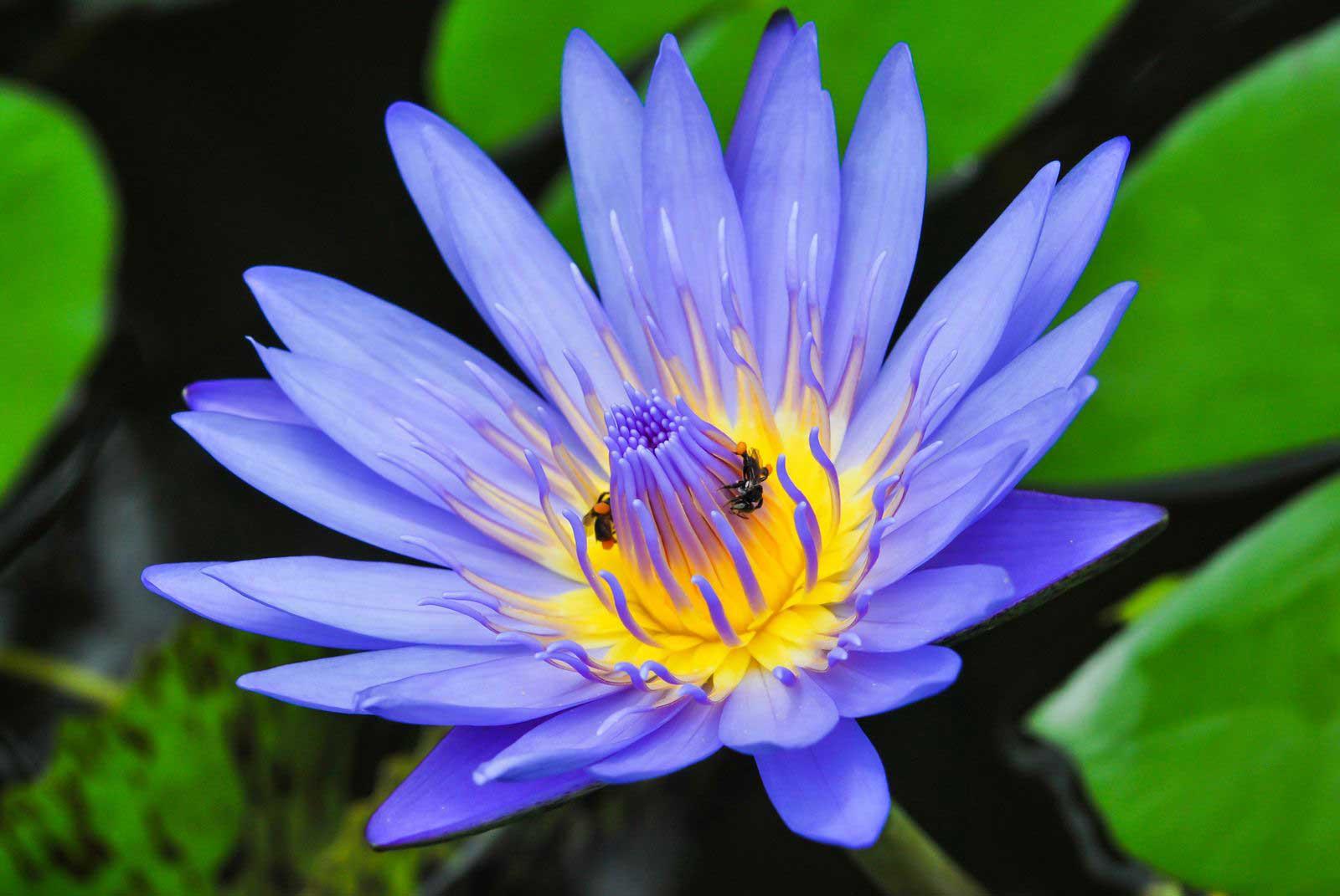 Flor de Lótus azul