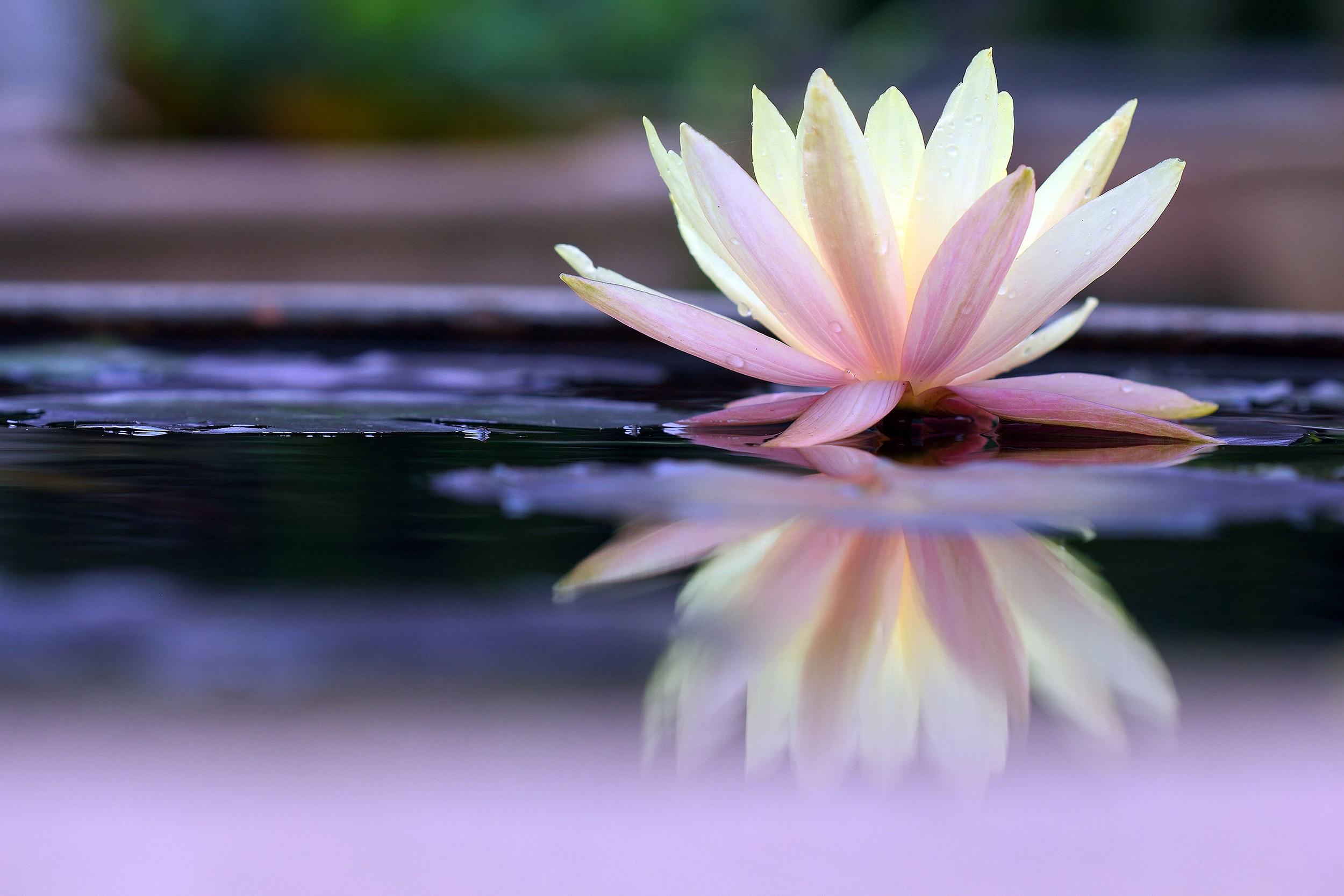 flor de lótus significado