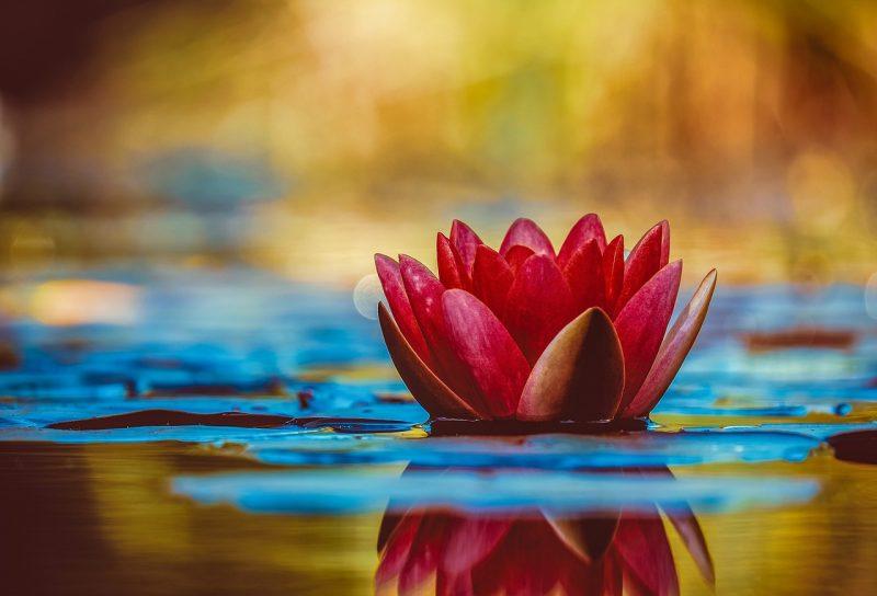 Flor de Lótus vermelha