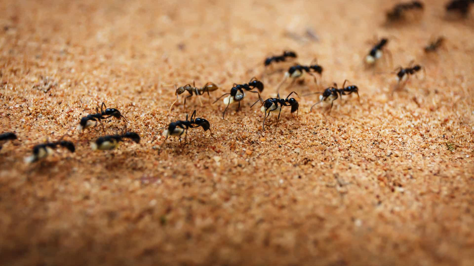 Repelente Caseiro Contra Formigas