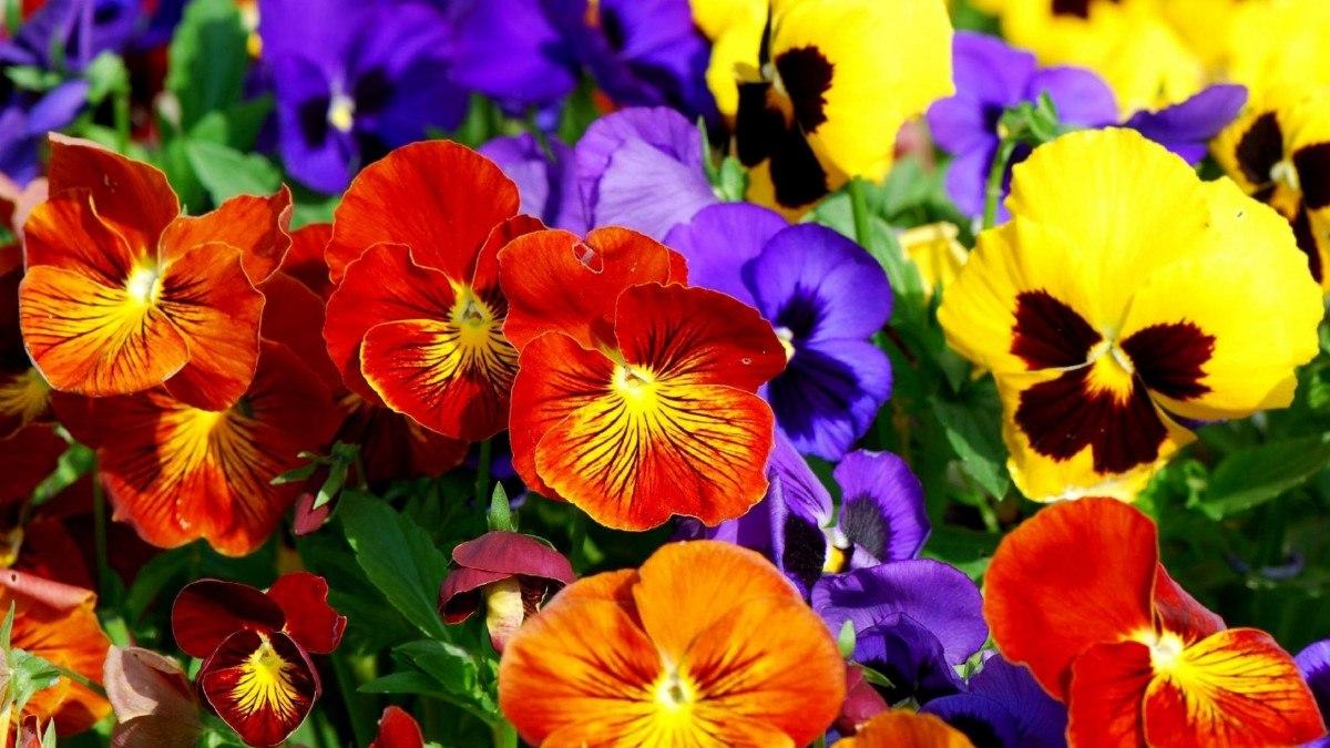 flores do campo amor perfeito