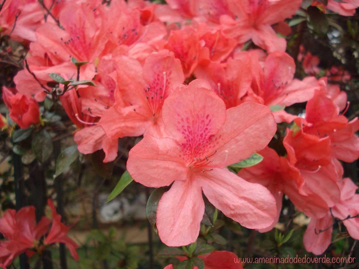 flores do campo azaleia