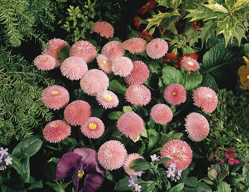 flores do campo bonina