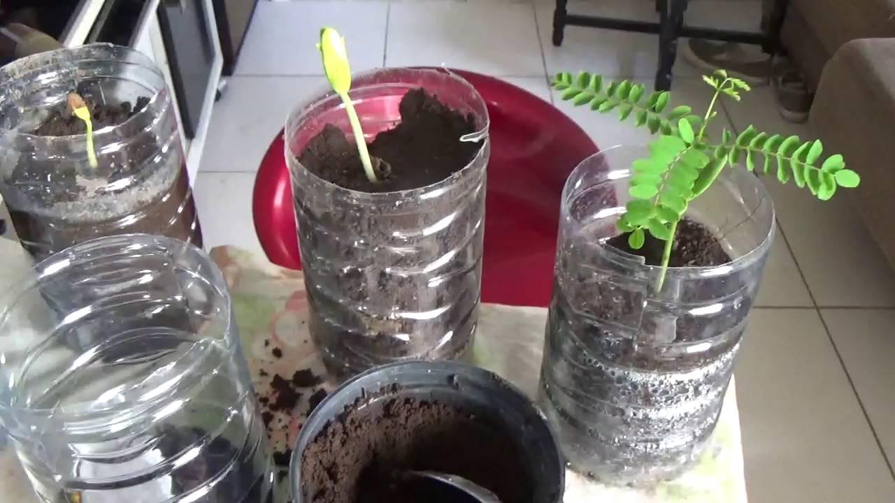 Como Plantar Flamboyant