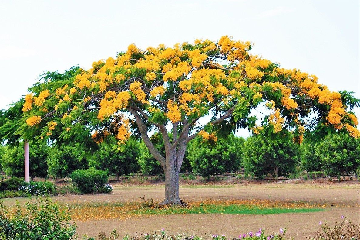 Flamboyant amarelo