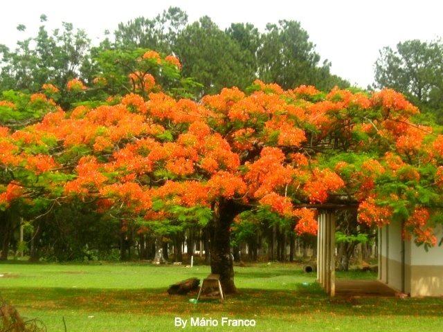 Flamboyant laranja