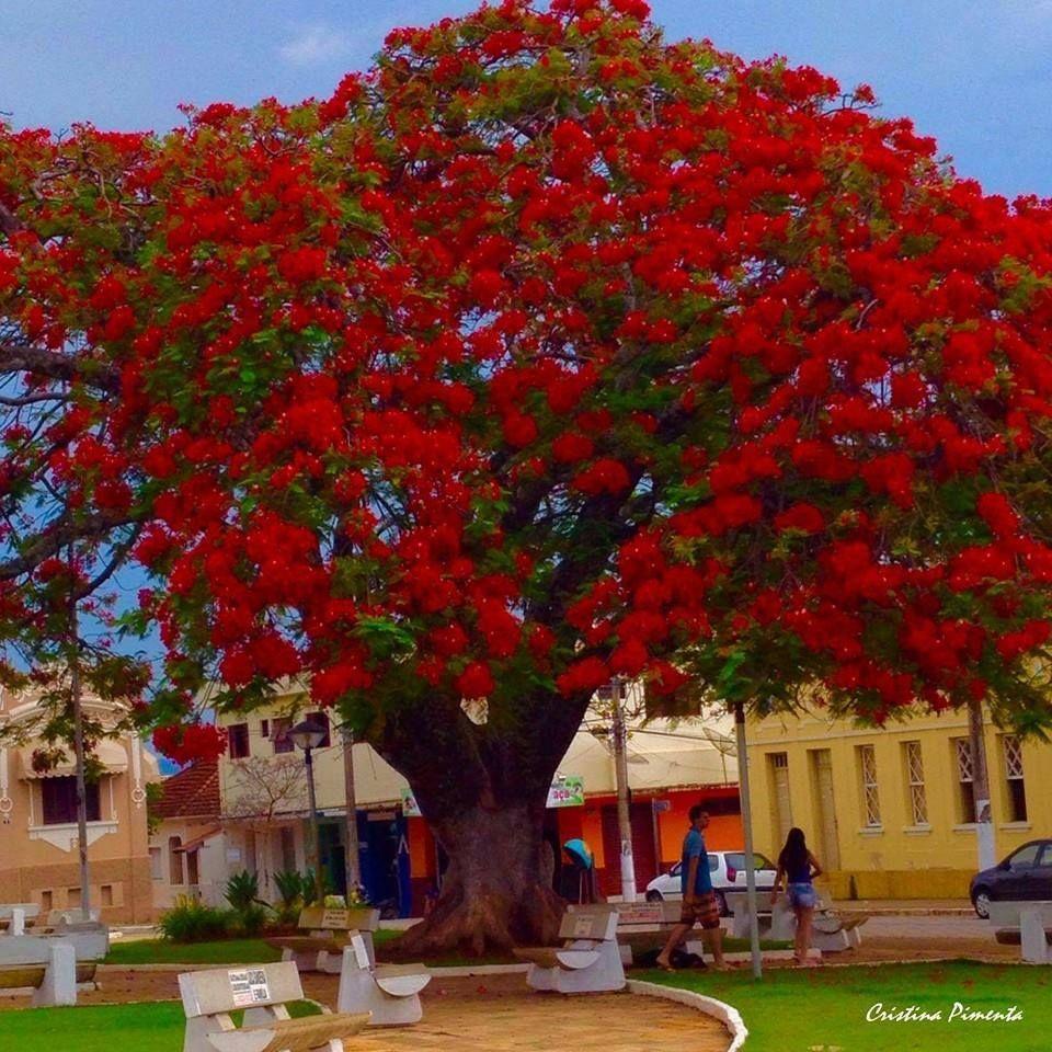 Árvore Flamboyant