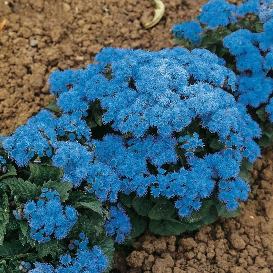 Flor de Cera azul