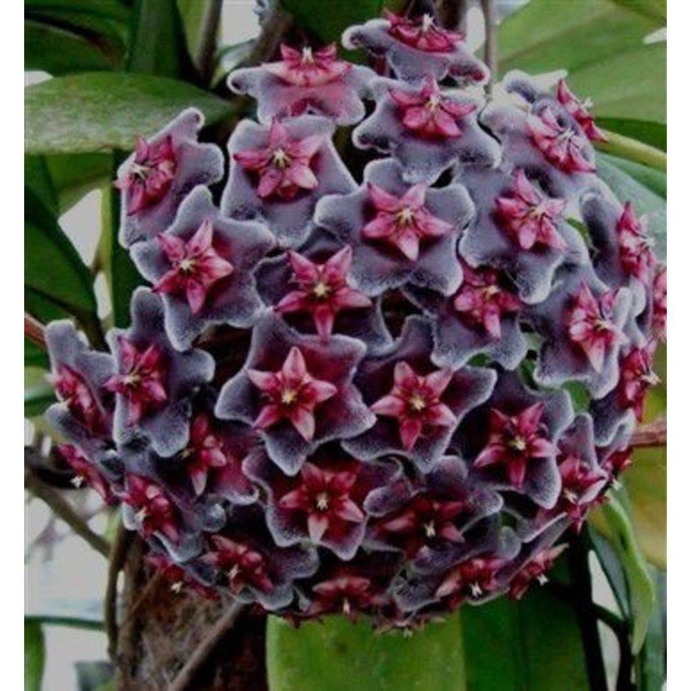 Flor de Cera negra