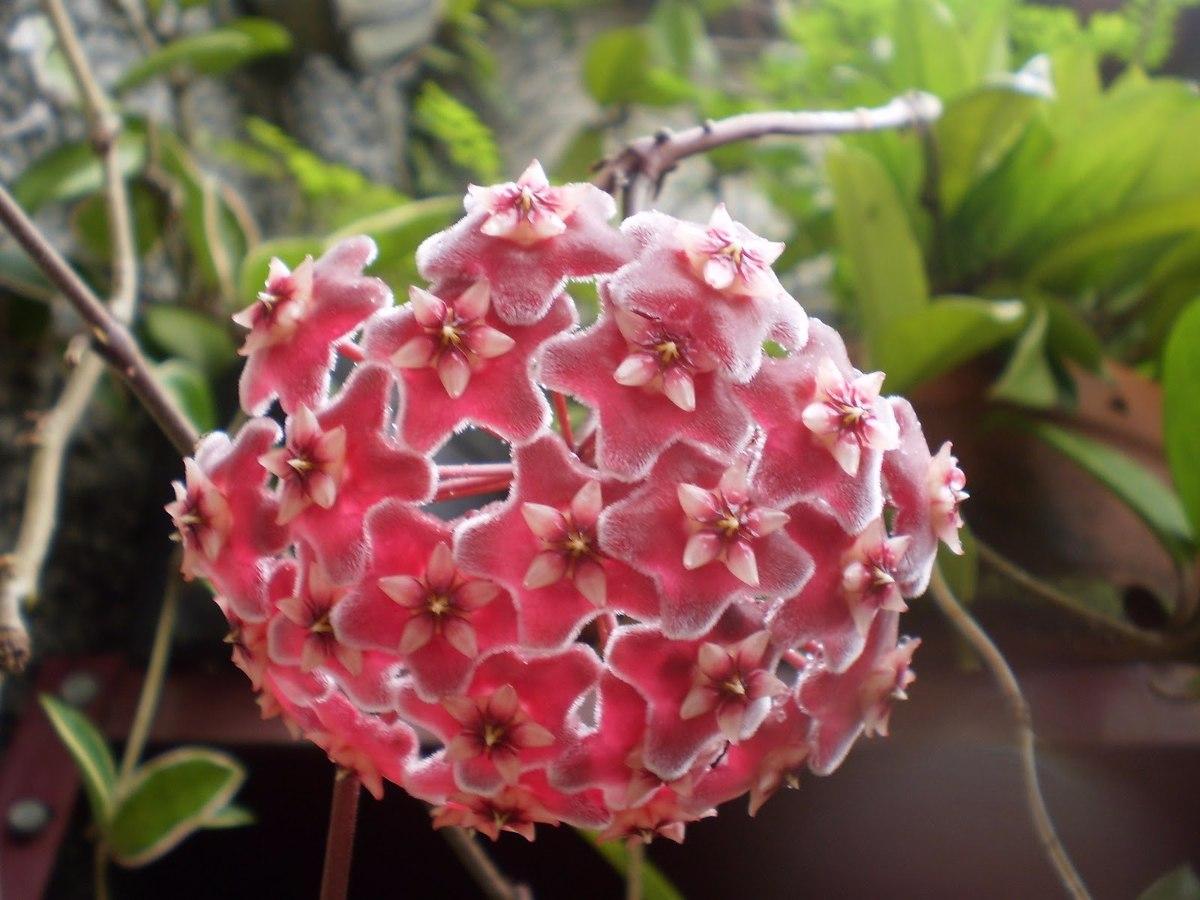 Flor de Cera vermelha