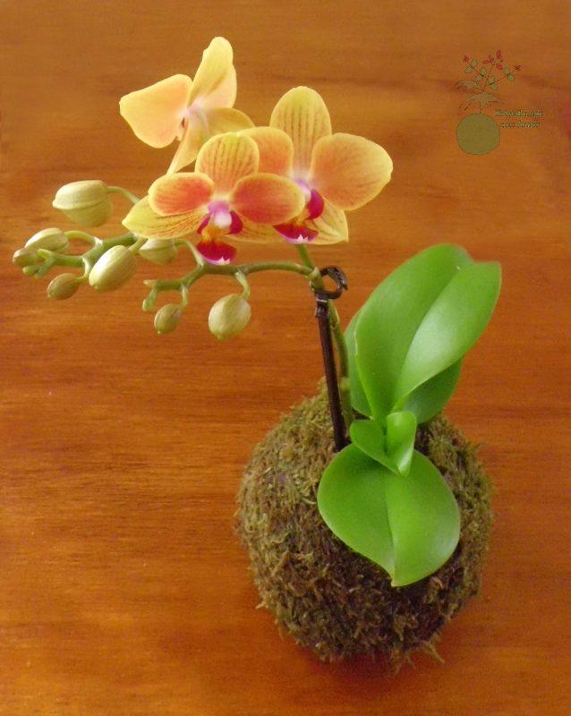 Kokedama de Orquidea