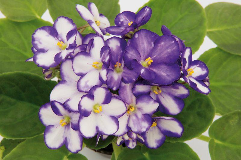 Como Cuidar de Violetas Para Florir