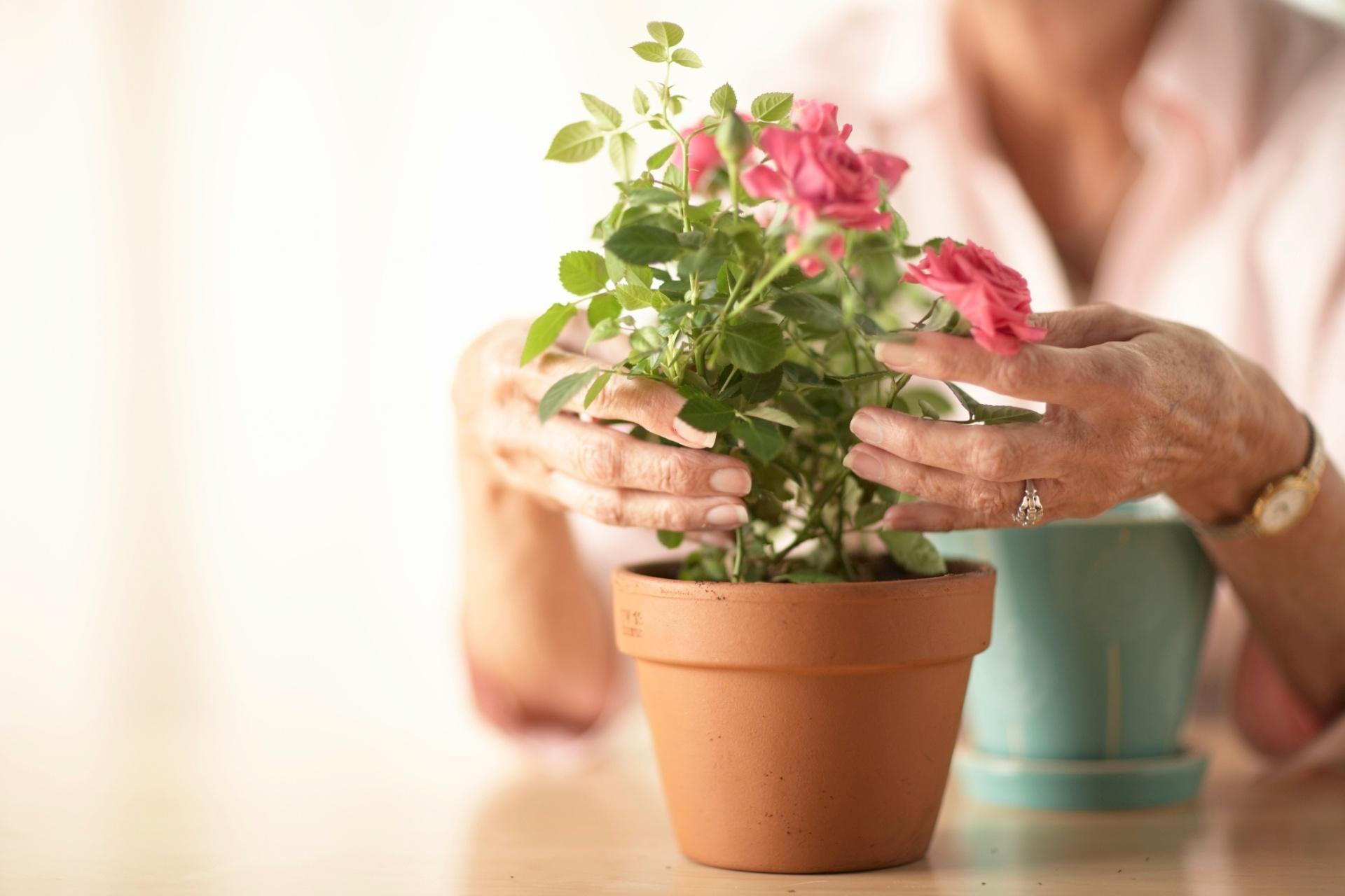 Como Plantar e Como Cuidar de Rosa Trepadeira