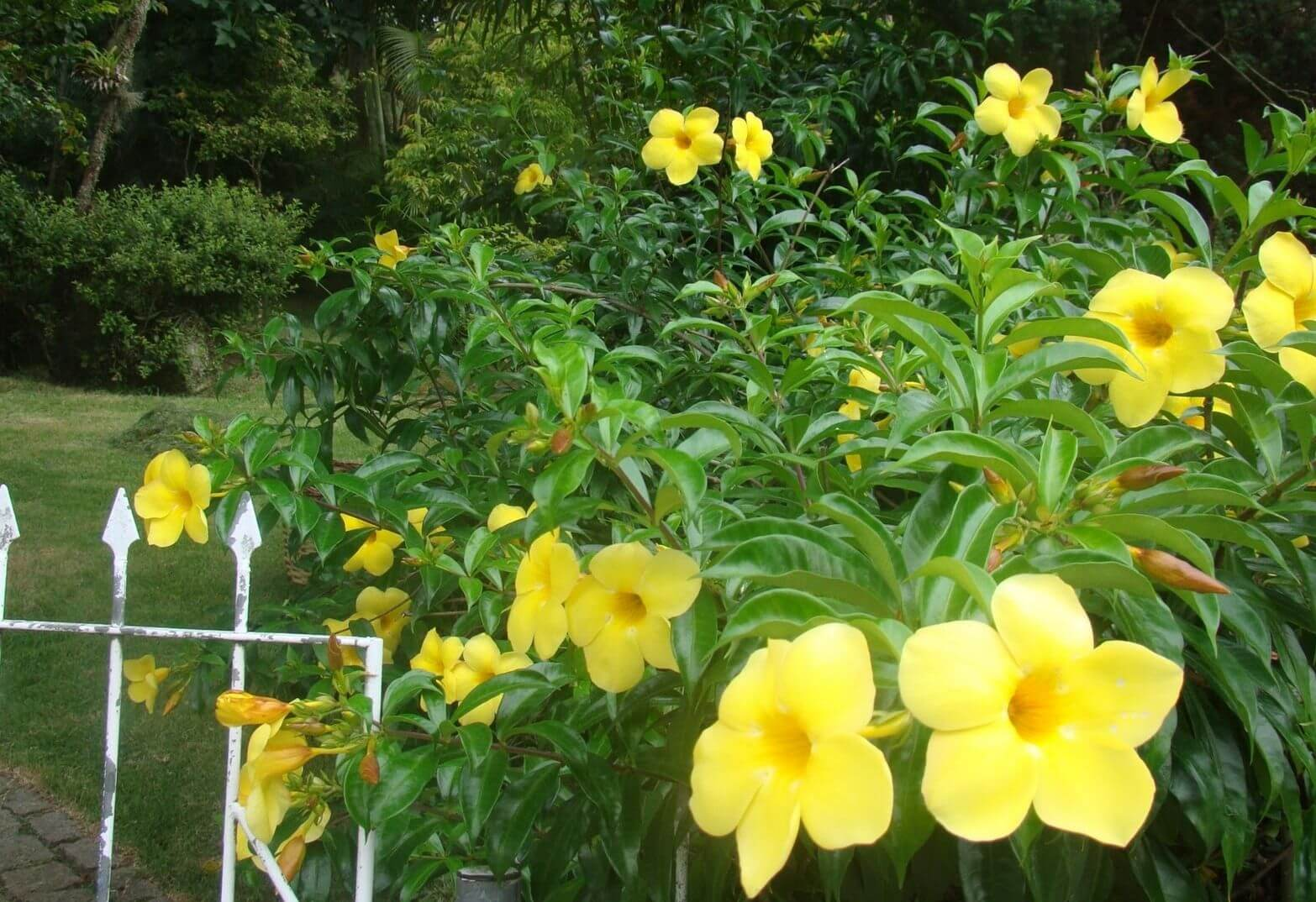 Alamanda flores que gostam de sol